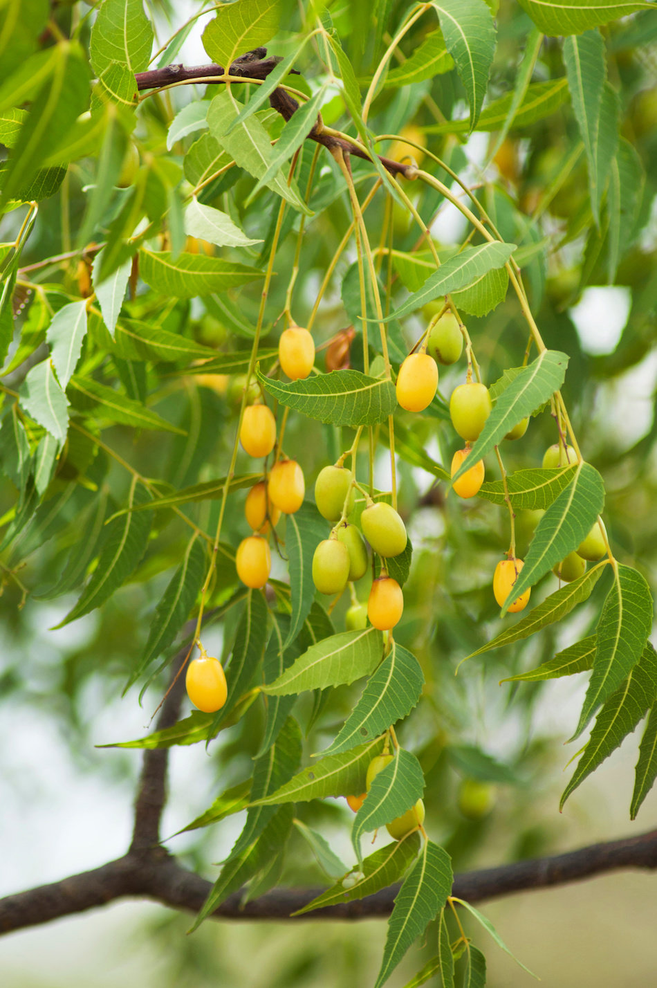 Healthy Neem Tree