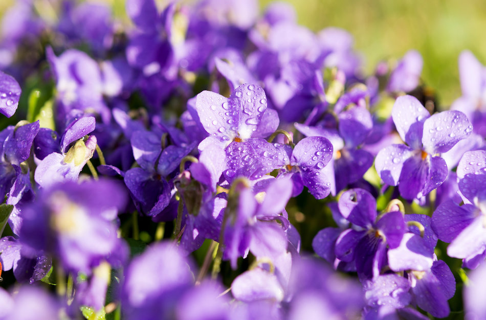 Using Violets as Mosquito Repellent